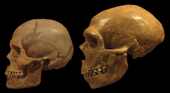 Comparaison d'un crâne d'homme moderne (à gauche) et d'un crâne néandertalien (©Wikimédia)