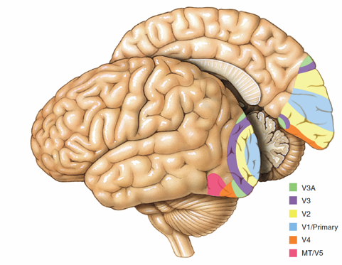 Which part of the brain is responsible for motion, shape, and texture perception? (Figure @Quora)