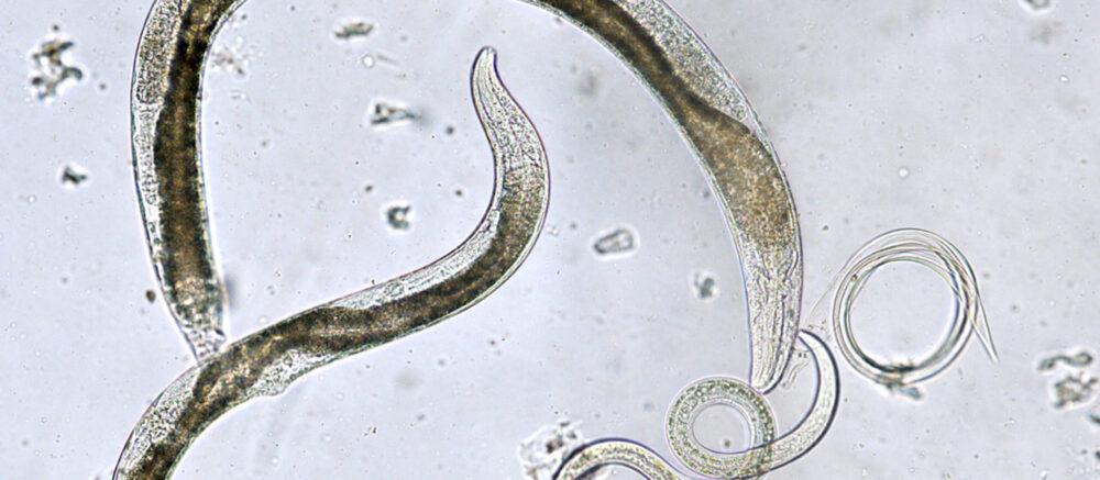 C. elegans, le le modèle préféré des biologistes