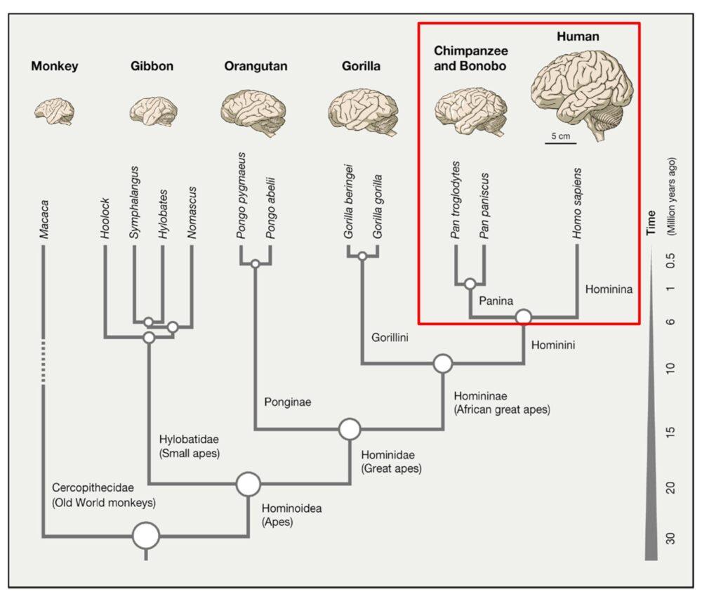 Histoire évolutive des primates (Sousa et al., 2017)