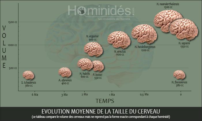 Evolution moyenne de la taille du cerveau chez les hominidés (©Neekoo pour Hominides.com)