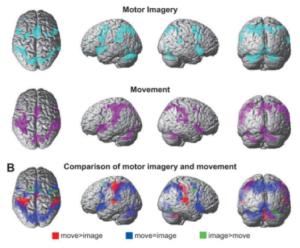 Equivalence neurofonctionnelle (Hanakawa et al., 2002)