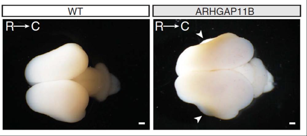 Induction d'expression du gène ARGHAP11B chez le marmouset (@Max-Plank-Neuroscience)