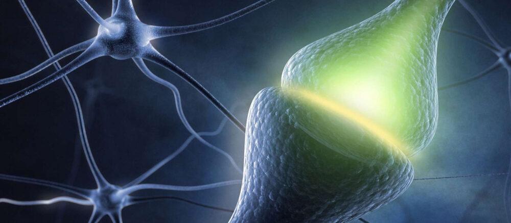Synapse (zone de connexion entre deux neurones).