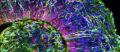 Coupe d'un organoïde de cerveau (©Muotri Lab/UCTV)